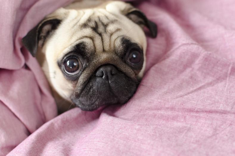 pug puppy - the cutest family dog
