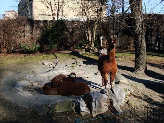 Alpaki i nandu