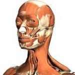 3D anatómiai atlasz a böngészőben - Használja az óráin a Google Body-t