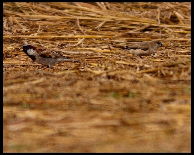 House Sparrow - Male and White Throated Munia