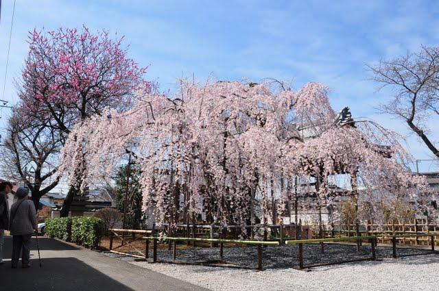 しだれ桜全景