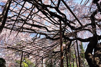 下からのしだれ桜