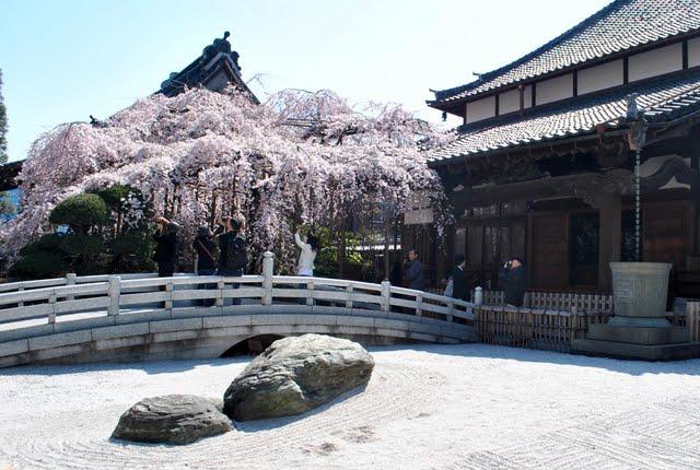 玉蔵院しだれ桜全景