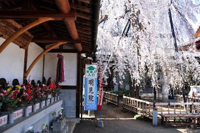 武蔵国十三仏としだれ桜