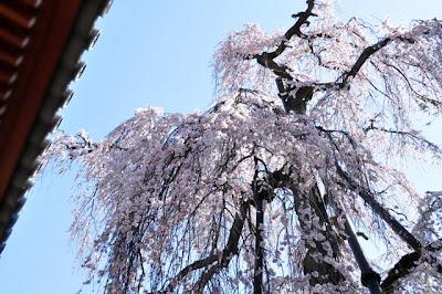 しだれ桜見上げる