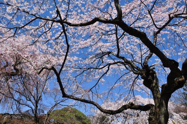 空に映えるしだれ桜