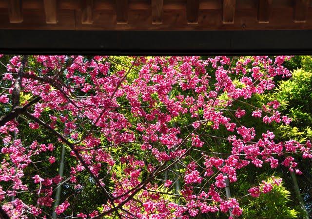 釈迦堂と寒緋桜2