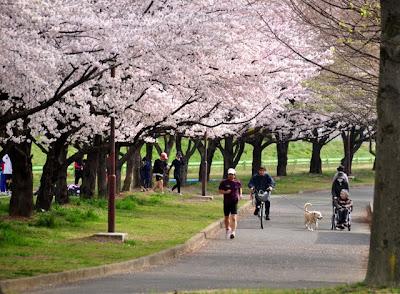水上公園桜