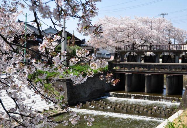 堰谷田と桜