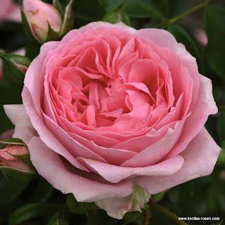 Rosa Beetrose Rosenfee von Kordes für einen Balkon