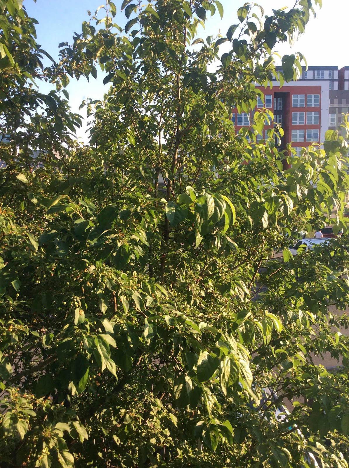 Some kind of apple tree out our window