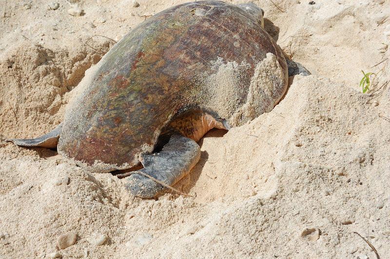産卵中のウミガメ・レディエリオット島の写真