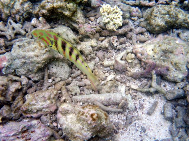 魚・レディエリオット島の写真