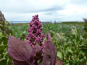 Fleur de quinoa