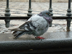 Pigeon péruvien