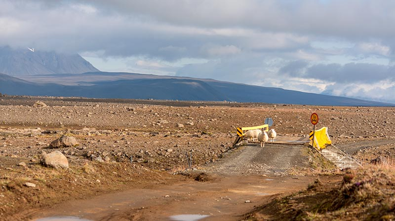 A group of sheep on a dirt road