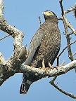 Andaman dark Serpent Eagle(Spilornis Elgini)