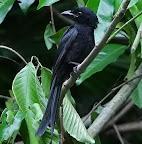 Andaman Drongo(Dicrurus Andamanensis)