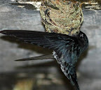 Glossy-Swiftlet or White-Bellied Swiftlet(Collocalia esculeuta)