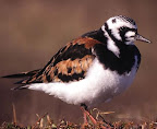 Ruddy Turnstone(Arenaria interpres)