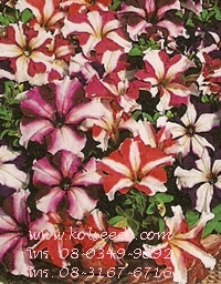 เมล็ดพันธุ์ดอกพิทูเนีย