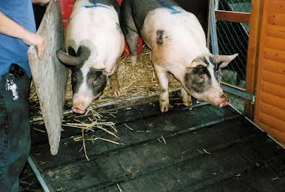 Schlachten schlachterinnen beim Ein Rind