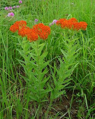 Вести с полей, садов и огородов Asclepias_tuberosa_plant