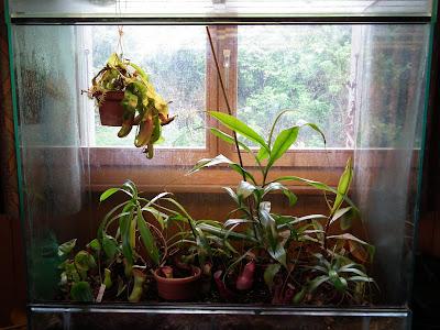Grand terrarium à Nepenthes à vendre DSCF2316