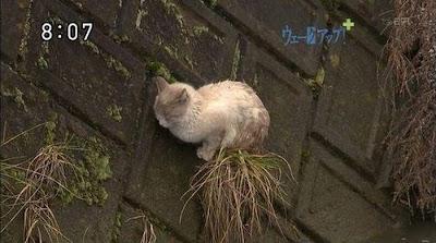 gato atrapado japon