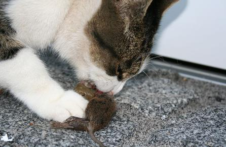 800px-Cat_eating_mouse-446x291.jpg