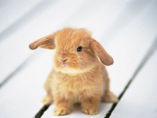 cute little ginger bunny rabbit