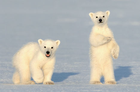 polar bear cubs standing very cuteness