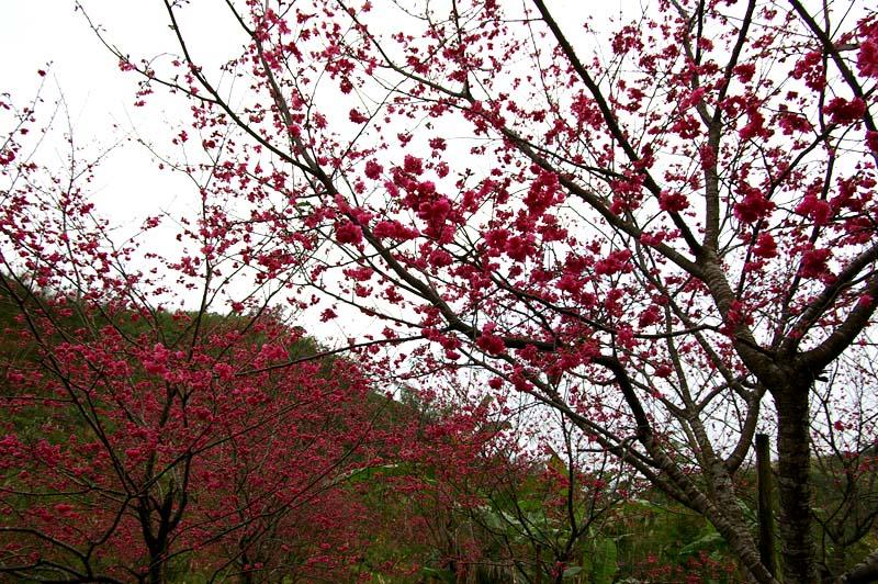 三星櫻花林