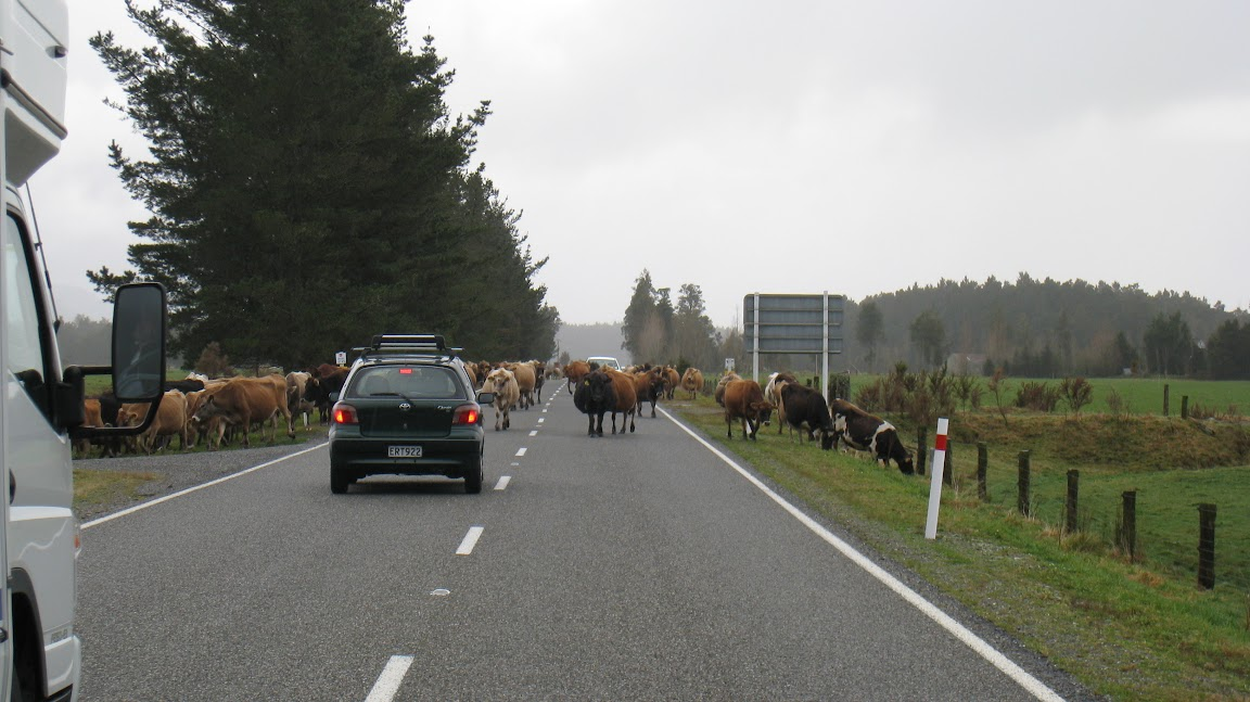 Cows Crossing!