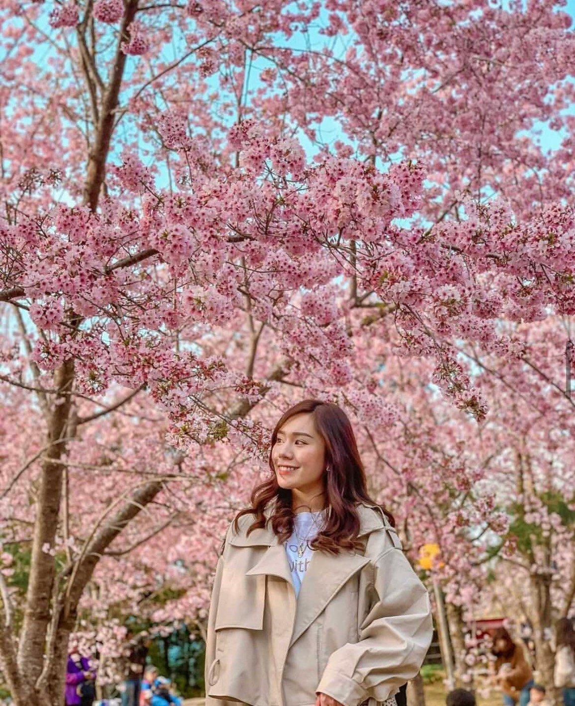桃園拉拉山恩愛農場櫻花季