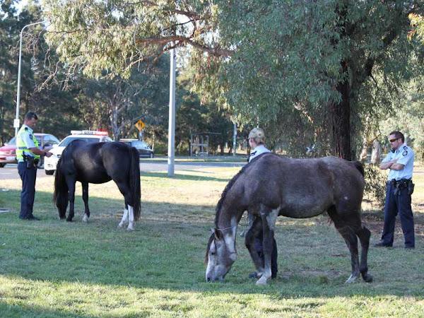horses loose