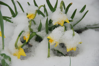 snow on daffodils