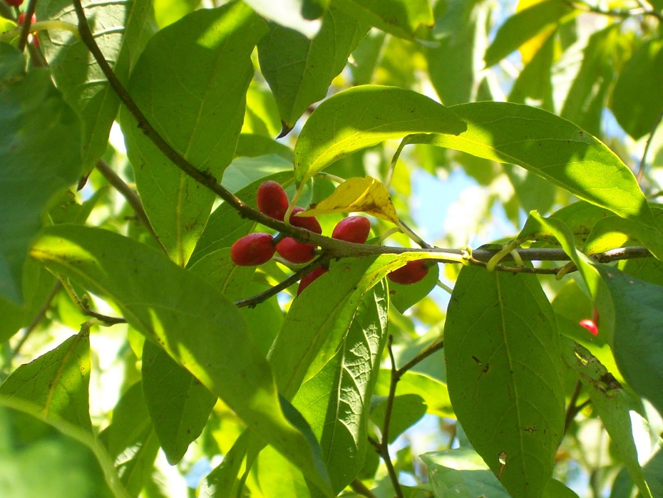 Common Spicebush Berries