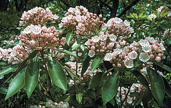 Mountain laurel blooming shrub