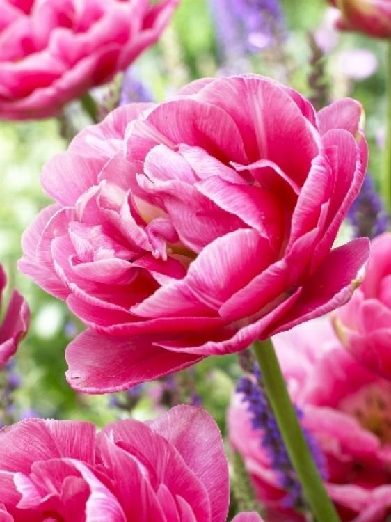 C:\Users\User\Desktop\фото тюльпанов\пионовидный розовый.jpg