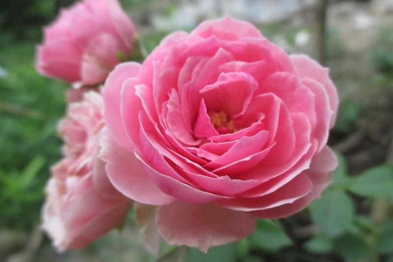 Những con số đề nào có liên quan đến giấc mơ thấy hoa hồng? NhaCai888b.com