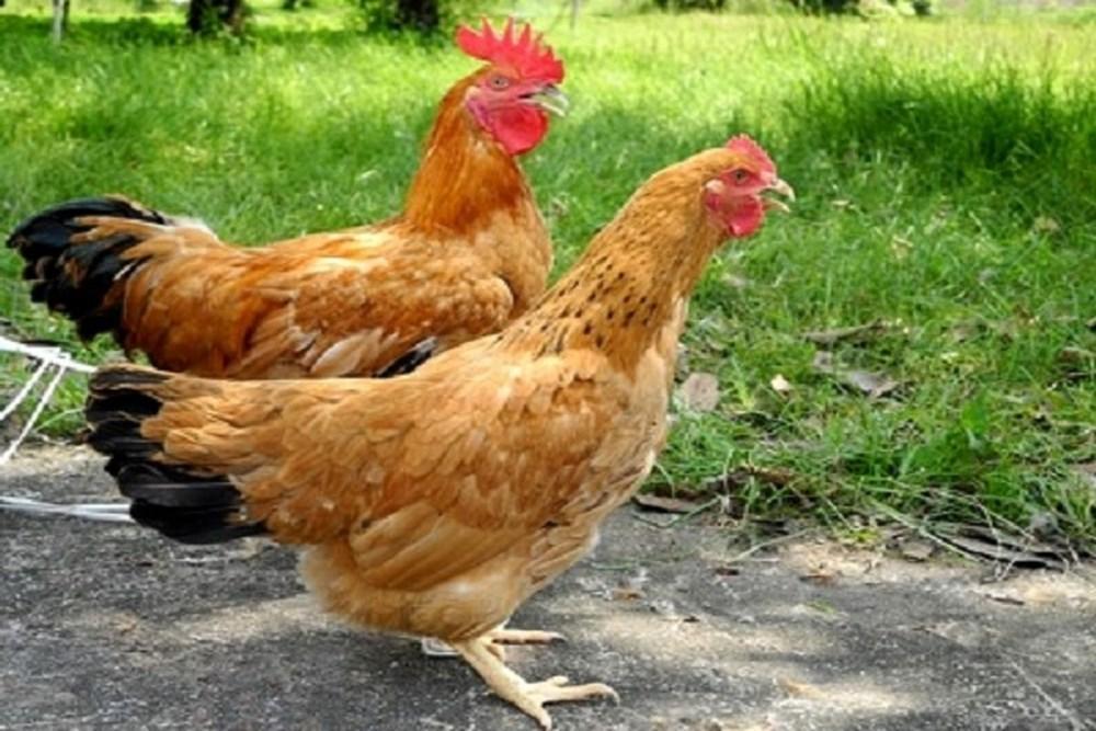 Kết quả hình ảnh cho gà thịt