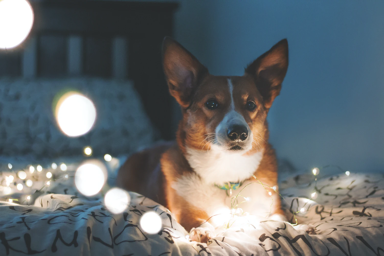 Corgi laying in bed with twinkle lights