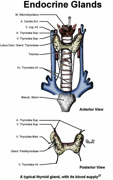 Illustration of the thyroid gland and its vasculature [27].
