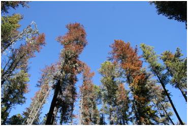 mountain pine_beetle_trees
