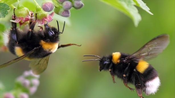 bumblebees.jpg