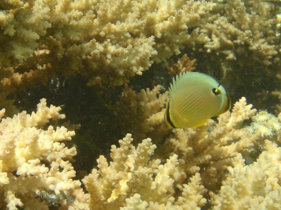 Chaetodon lunulatus (Juv. Oval Butterflyfish), Aitutaki.