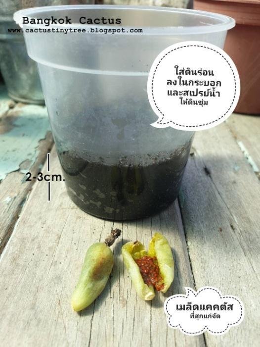 การเพาะเมล็ด Cactus คืออะไร  03