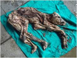 A bubaline mummified fetus recovered by cesarean section. (Photo Courtesy Dr Gyan Singh, Assistant Professor, Teaching Veterinary Clinical Complex, Lala Lajpat Rai University of Veterinary and Animal Sciences, Hisar, Haryana, India).