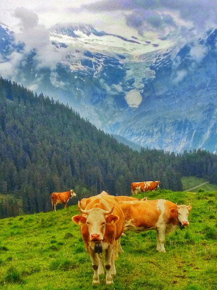 Cows and glaciers...only in Switzerland!
